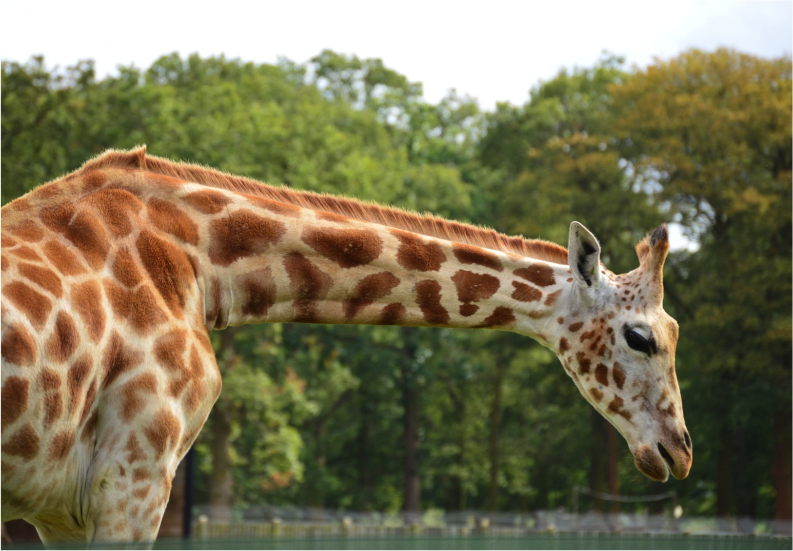 """Woburn family trip giraffe"""