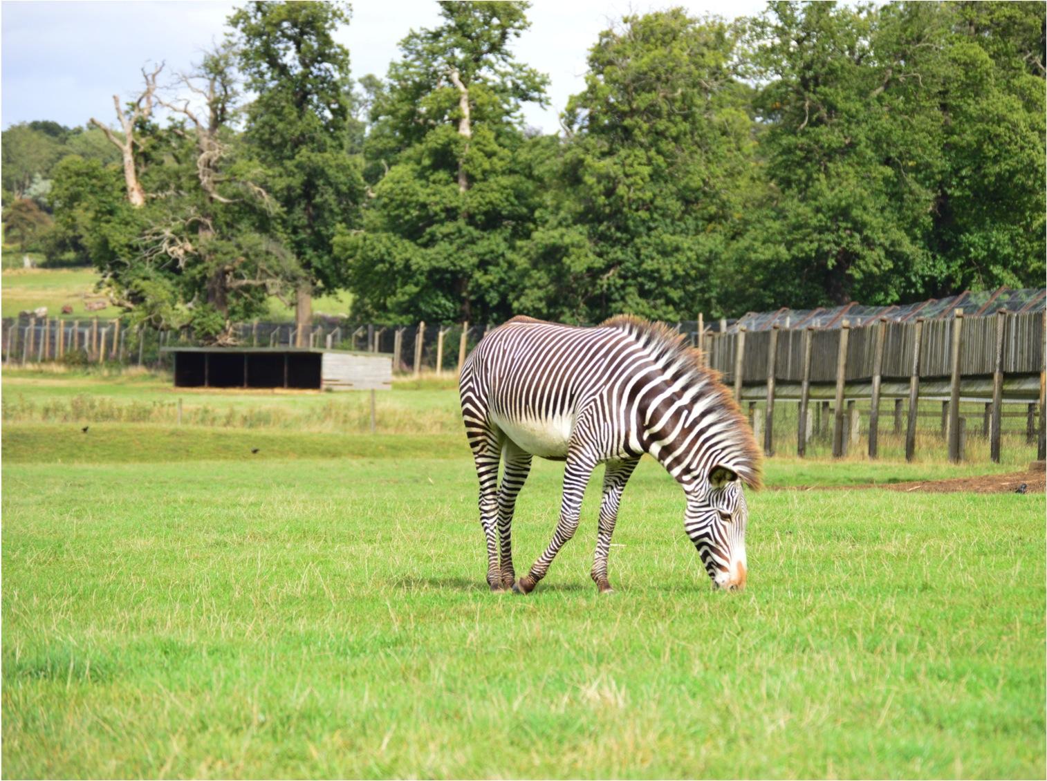 """""""Woburn family trip zebra"""""""